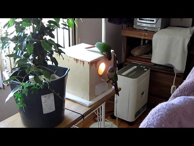 Skippie (green cheek conure) talking to Baby Parrotlets Funny!! » Freewka.com - Смотреть онлайн в хорощем качестве