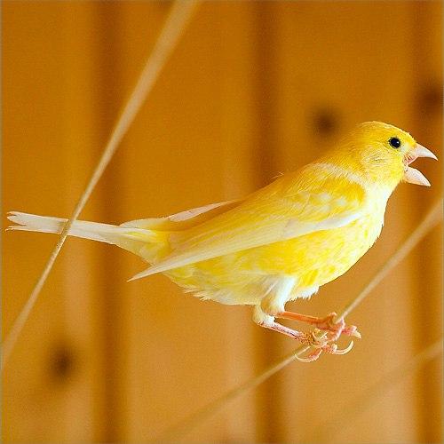 Русский Кенар - птица певчая