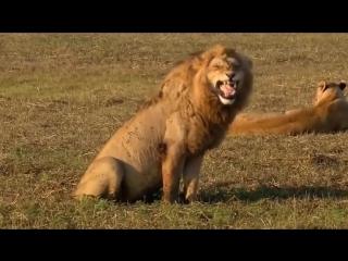 Смеющийся лев