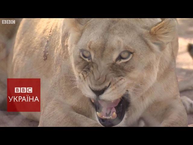 Як за гроші полюють на левів