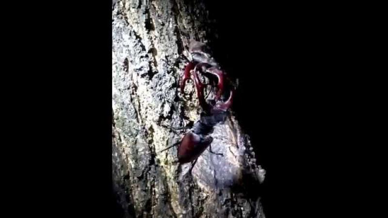 Борьба за выживание! Жуки-олени! Занесены в Красную Книгу! Fight for survival! Stag beetles!