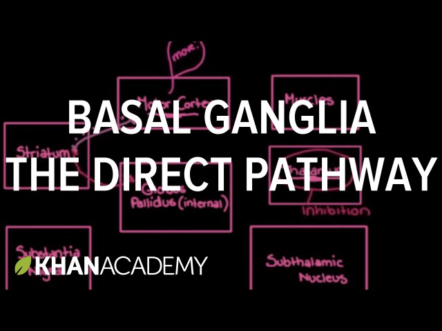 The basal ganglia The direct pathway Nervous system diseases NCLEX RN Khan Academy