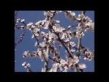 Цветение абрикоса_MPEG2_DVD_PAL