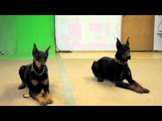 Two very well trained Doberman Pinschers that were used for the movie Resident Evil