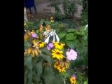 Бражник очень красивая бабочка.