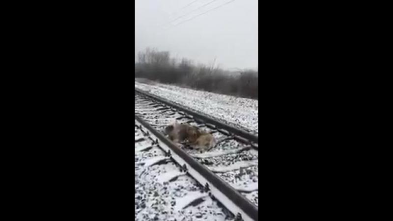 як на Ужгородщині пес вірно охороняв і зігрівав свою травмовану потягом подругу