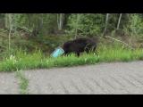 Молодой медведь застрял головой в банке