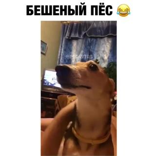 Бешеный пес)