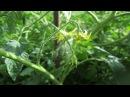 Выращивание томатов очень дождливым летом...