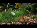 CPO Mexican Dwarf Crayfish Ghost Shrimp and Blue Ram