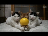 Cute Cats Balancing Fruits on Heads and Paws - Compilation