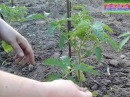 Правильная подвязка пасынкование помидор Proper garter tomato