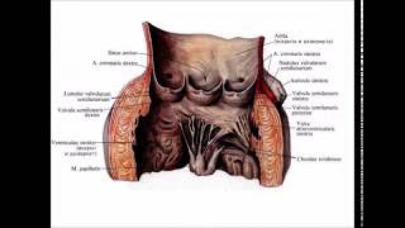 Сердце: топография, строение, кровоснабжение, иннервация, проводящая система