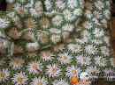 How to crochet daisy afghan blanket free easy pattern tutorial