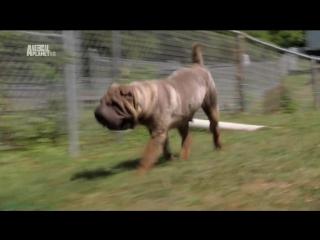 «Симпатичные щенки: Немецкий боксёр, Керн-терьер, Шарпей» (Познавательный, 2012)