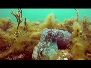 Удивительный мир секса гигантских каракатиц