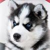☆ Хаски Лайк ☆ Фотосессии со щенками Хаски