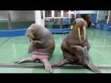 Эти моржи танцуют лучше чем ты