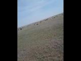 в деревне посу баран