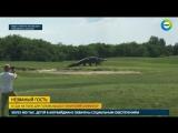 Гигантский аллигатор вышел на поле сыграть в гольф