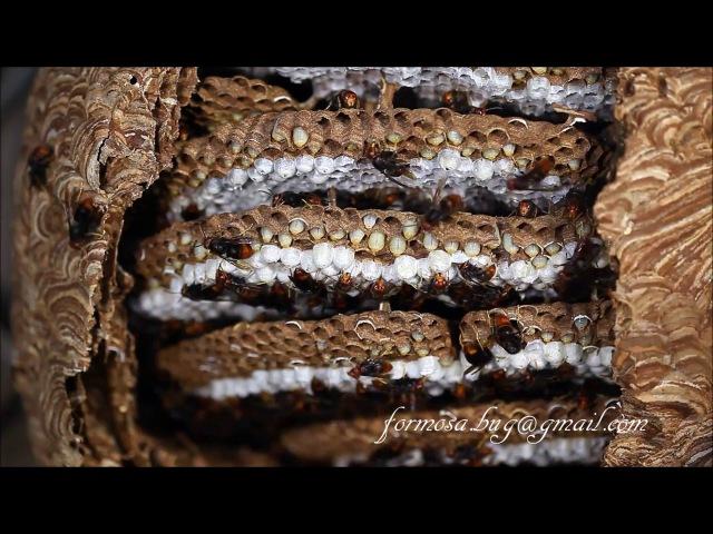 黃腳虎頭蜂巢內情形 ~~~Wasps ( Vespa velutina ) 20100106。