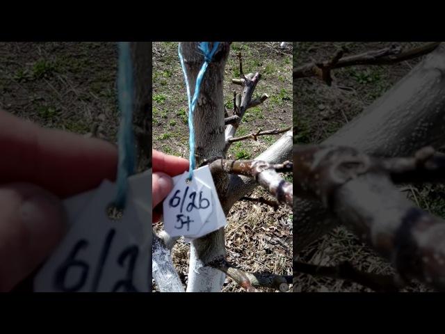 Український горіховод ділиться відео щодо весняного розвитку горіхів форм Кочерженко