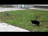 Dog vs Cat vs. Ennio Morricone Дуэль собаки против кошки под Эннио Морриконе
