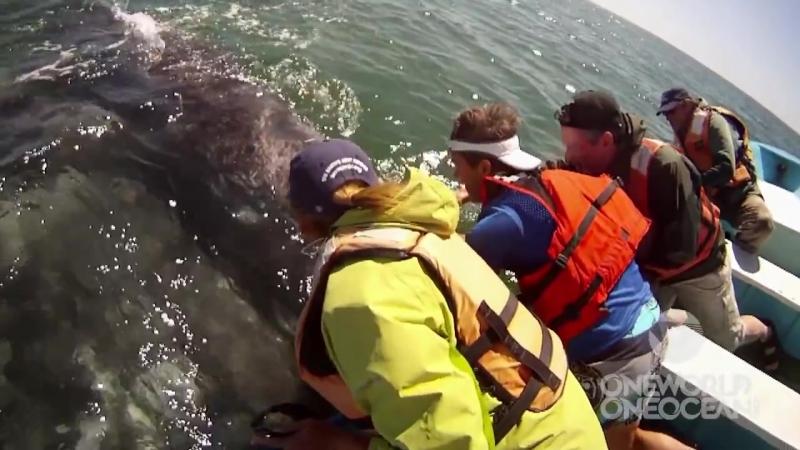 Такое не часто увидишь! Самка серого кита подняла своего детёныша над водой, чтобы показать его людям