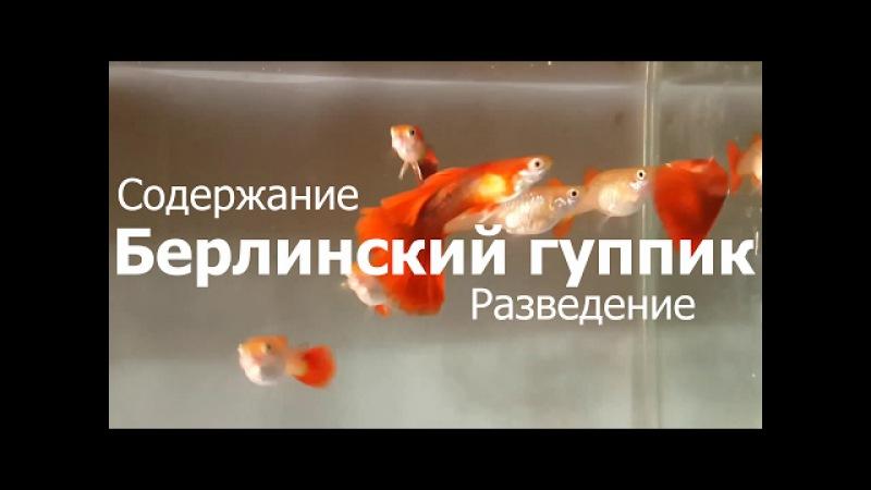 гуппи, Poecilia reticulata, Breeding guppies, 孔雀魚養殖, Reproducción de guppies,guppies de desove