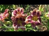 Цветение лилейников Jardindelux.ru лето 2016 Часть 1