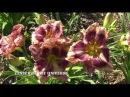 Цветение лилейников лето 2016 Часть 1