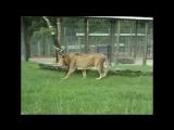 13-летний лев, спасенный из бродячего цирка, бегает за пределами клетки в первый раз в жизни