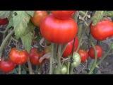 Выращивайте томаты, а не листву. Советы как вырастить хорошие томаты. Кантри Хаус