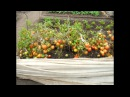 Помидоры без рассады Опыт выращивания