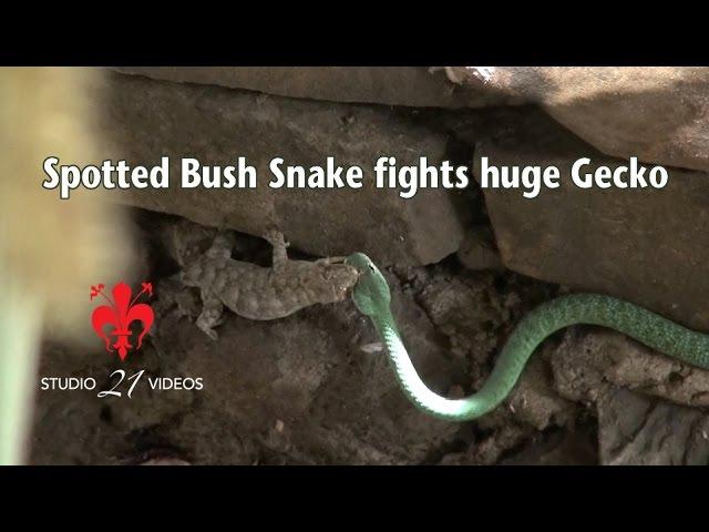 Кустарниковый зелёный уж против геккона