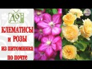 ПОСЫЛКА с РОЗАМИ и КЛЕМАТИСАМИ. Растения из питомника по почте / Оценим посадочн