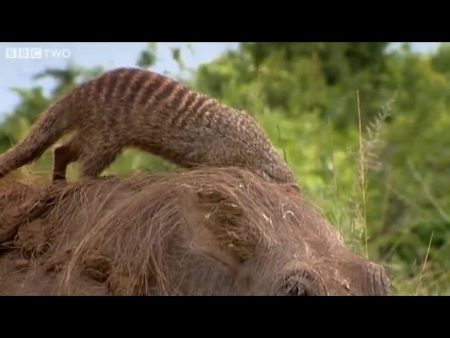 Nothing to see here. Just a bunch of mongoose cleaning a warthog...
