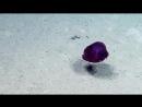 Морской огурец в глубине ориг. Sea Cucumbers of the Deep Nautilus Live