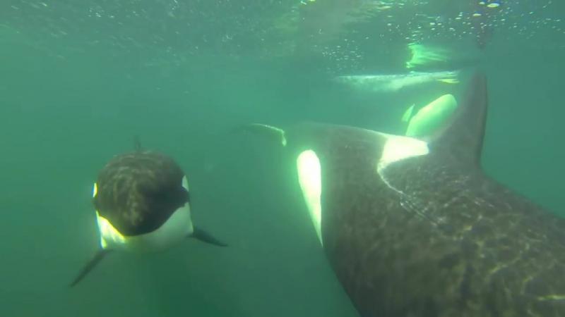 Paul Dolk: a BIG ORCA surprise!
