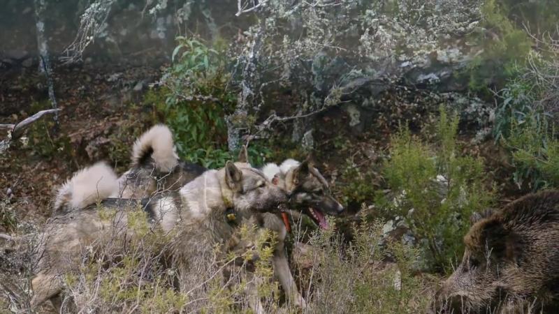 Zaxidno sybirska laika i lovy kabana v Espanii Заxідно сибірська лайка і лови кабана в Еспаніі