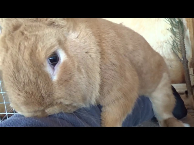 Гиперсексуальный бургундский кролик имеет всё что движется