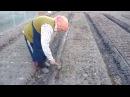 Морковь Посадка моркови Быстрые всходы моркови YouTube
