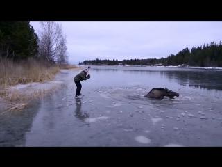 Семейная пара шведов спасла провалившегося под лёд лося