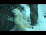 Nora the polar bear plays in the snow at the Oregon Zoo