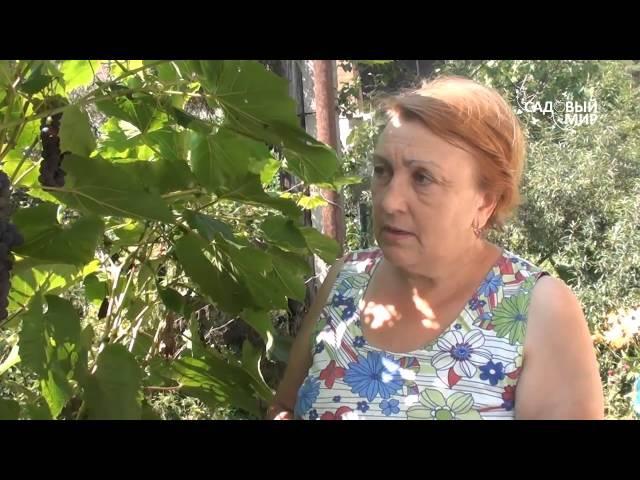 Зеленая обрезка винограда. Сайт Садовый мир
