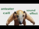 The Animal Sounds: Anteater Call - Sound Effect -  Animation