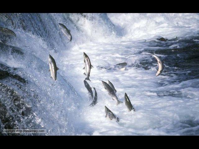 National geographic Salmon Documentary BBC wildlife animal documentary