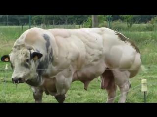 Накаченный бык