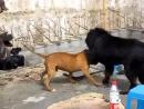 Собачьи бои питбуль vs тибетский мастиф