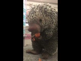 Дикобраз грызет морковку